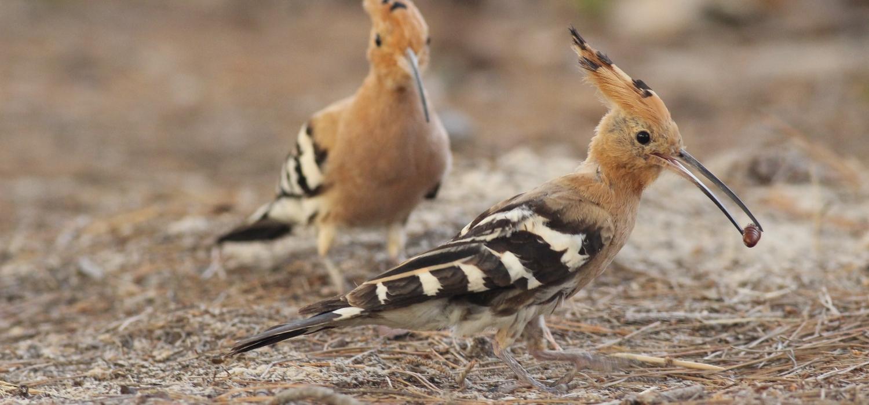 Härfåglar